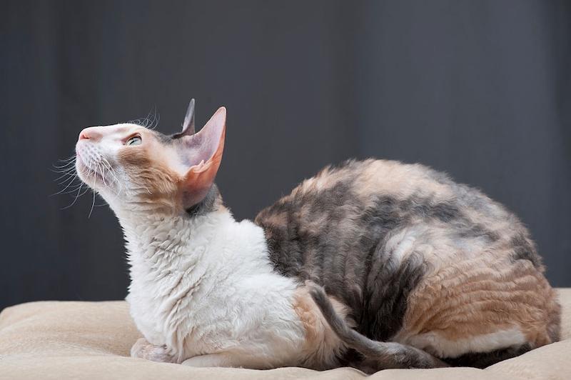 Kucing Cornish Rex