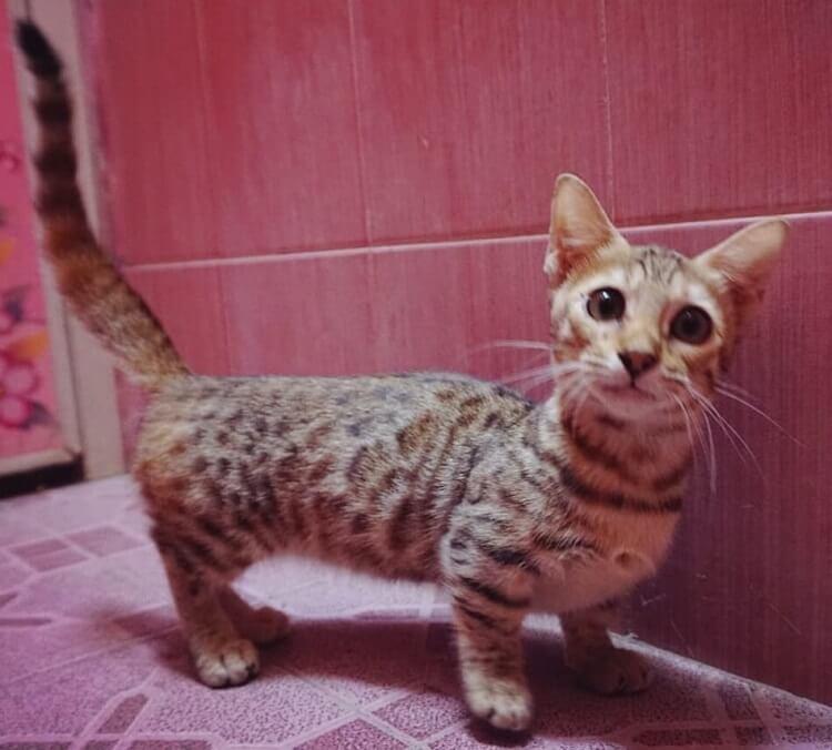 Kucing Genetta