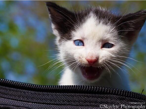 Kucing Ojos Azules