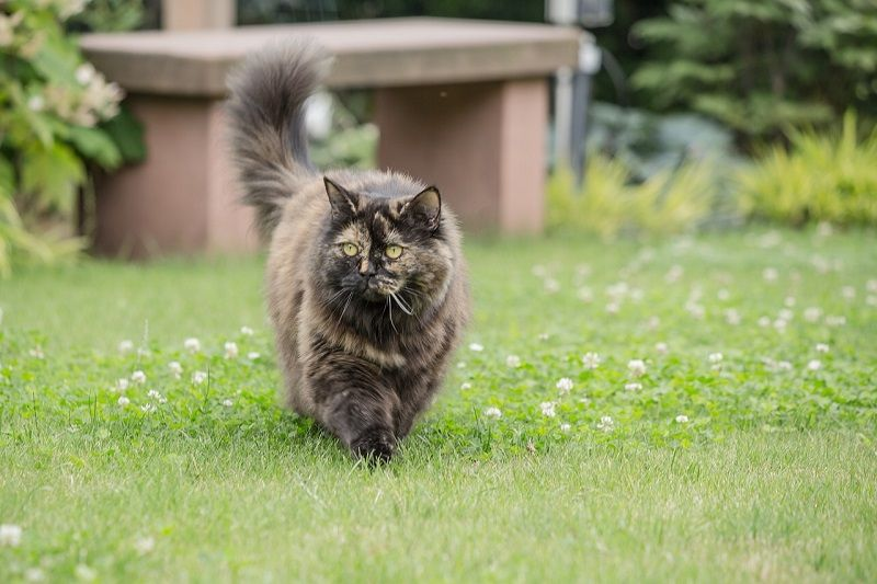 Ciri-ciri Kucing British Longhair