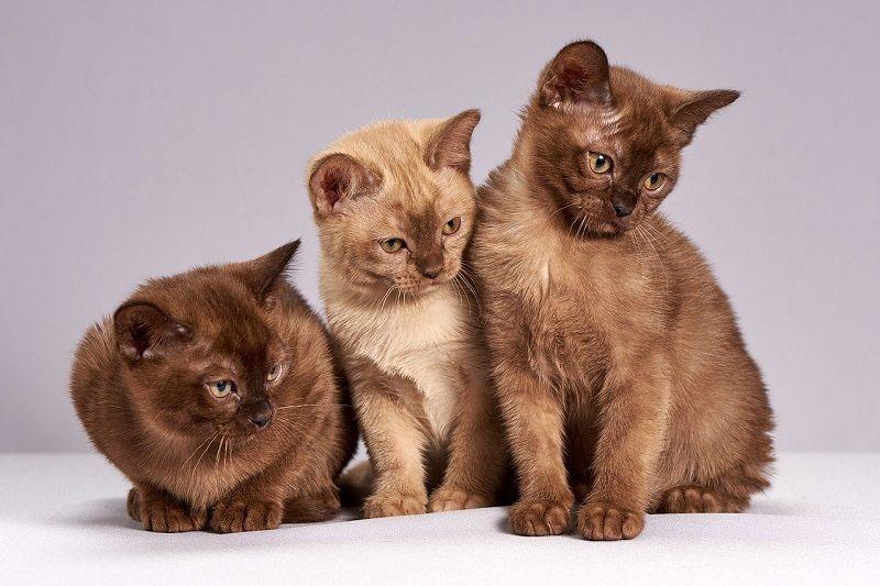 Ciri-ciri Kucing Burmese