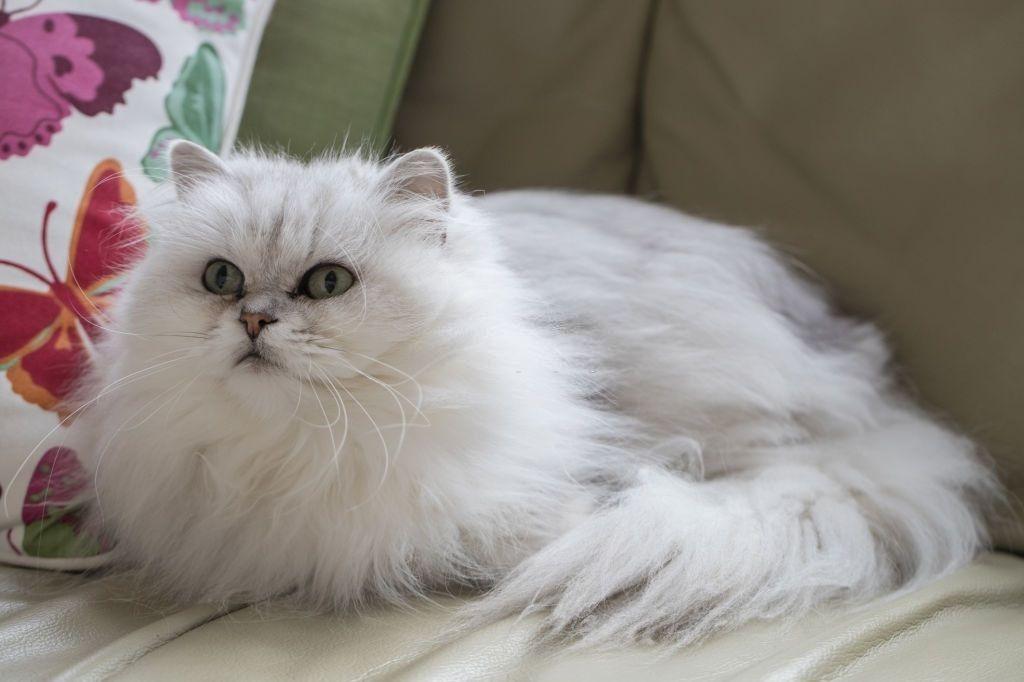 Ciri-ciri Kucing Chantilly-Tiffany