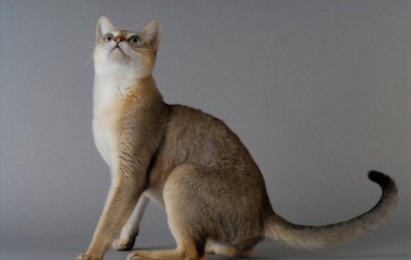 Ciri-ciri Kucing Singapura