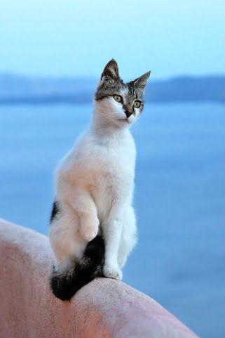 Kucing Aegean