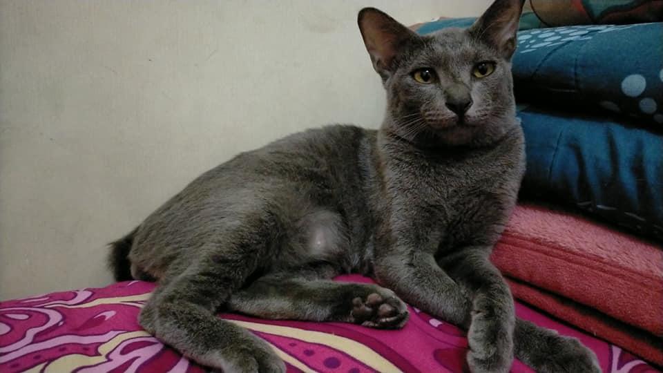 Kucing Busok
