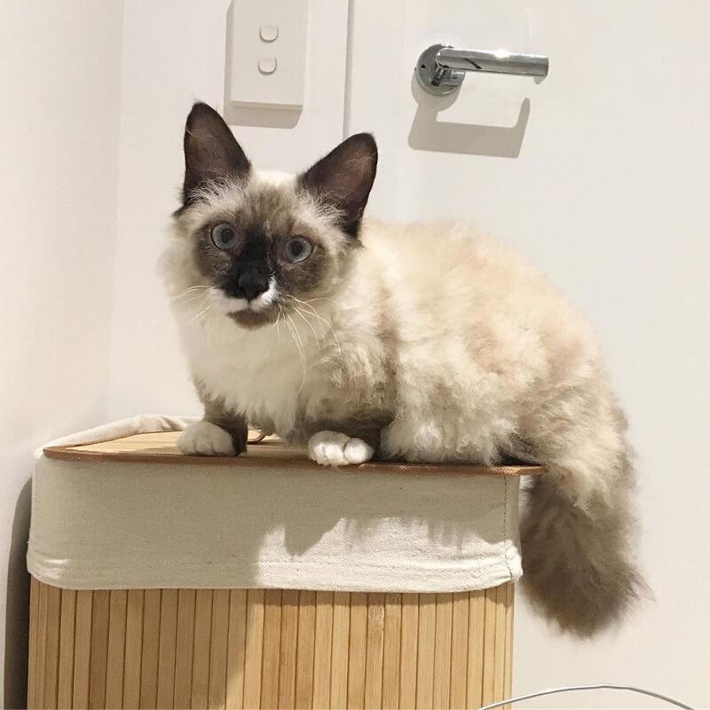Kucing Skookum