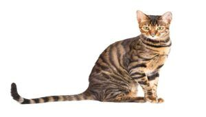 Kucing Toyger