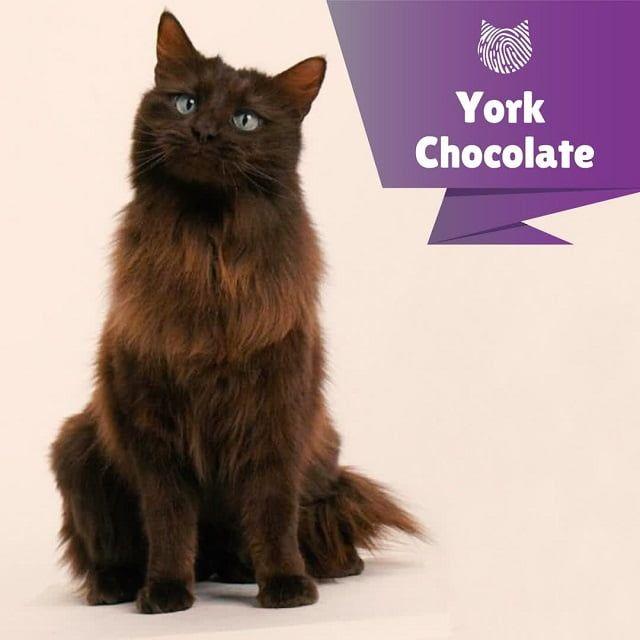 Kucing York Chocolate