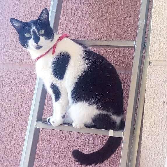 Kucing Brazilian Shorthair