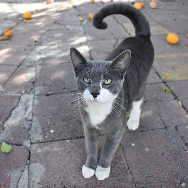 Kucing American Ringtail