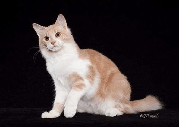 Kucing Aphrodite Giant
