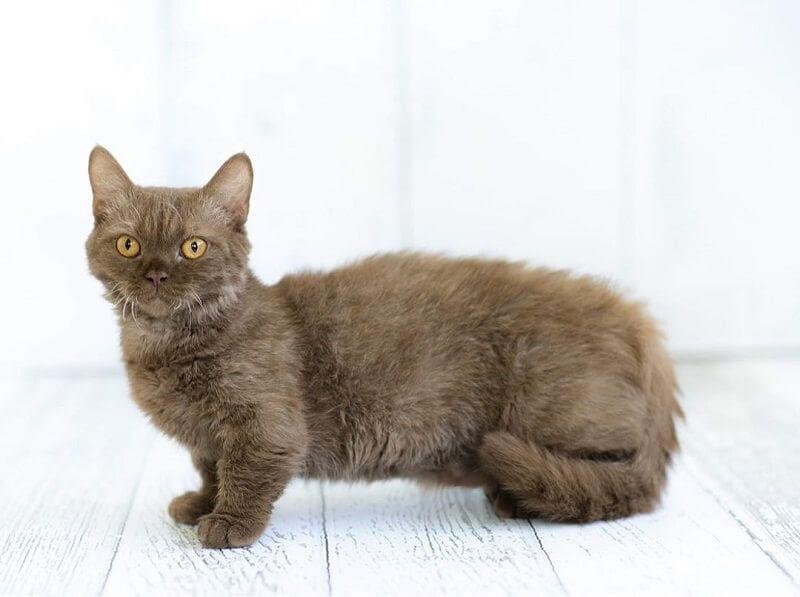 Kucing Lambkin