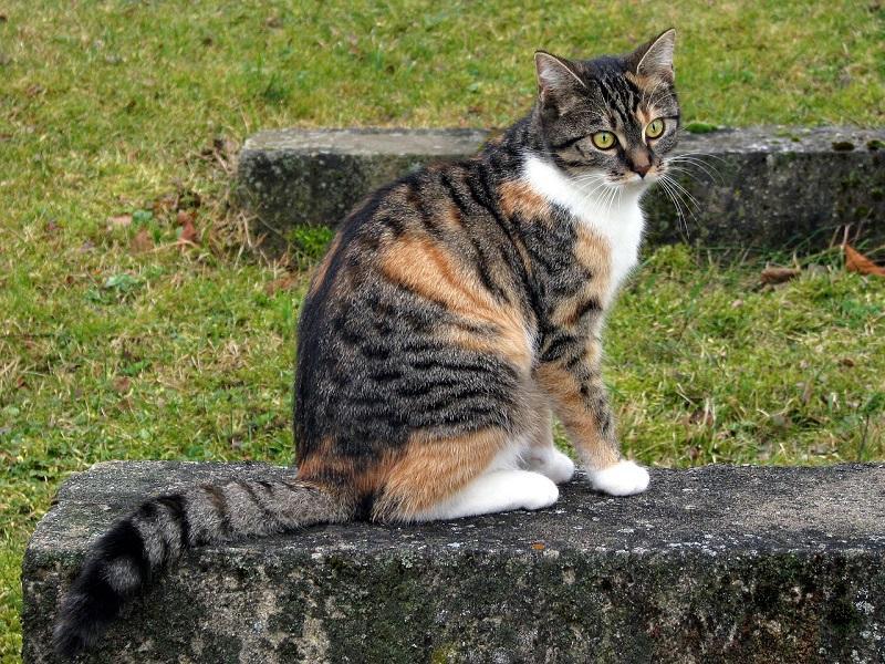 Ciri-ciri Kucing European Shorthair