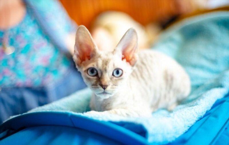 Kucing German Rex