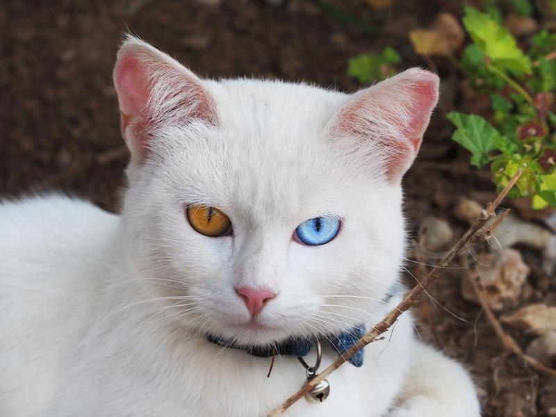 Kucing Khao Manee