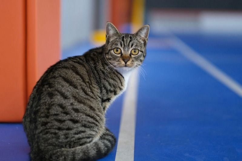 Kucing Dragon Li