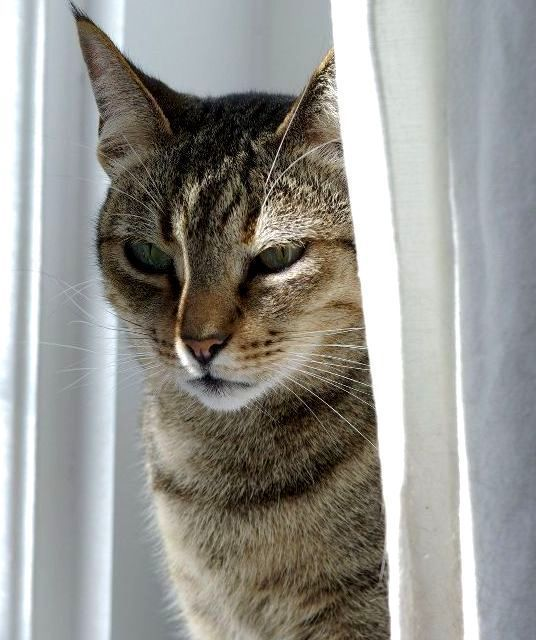 Kucing Kanaani