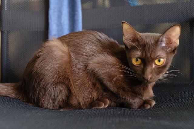 Kucing Suphalak