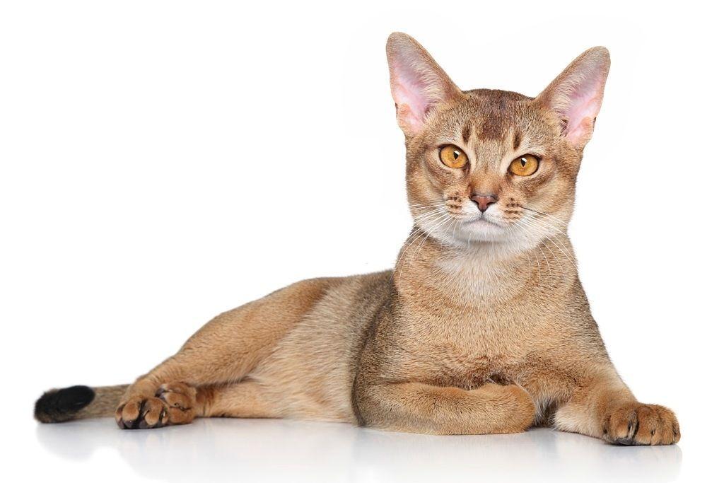 Jenis-jenis Kucing Abyssinian