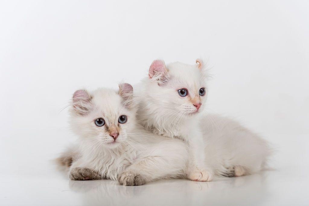Jenis-jenis Kucing American Curl