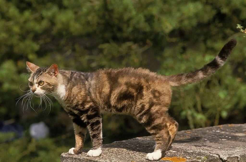 Jenis-jenis Kucing American Wirehair