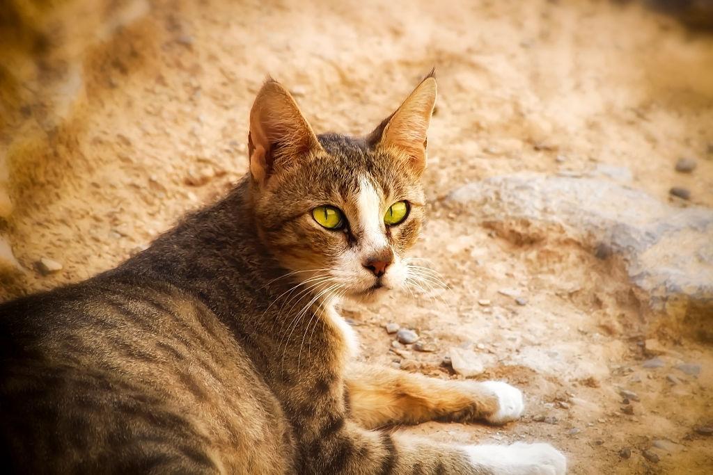 Jenis-jenis Kucing Arabian Mau