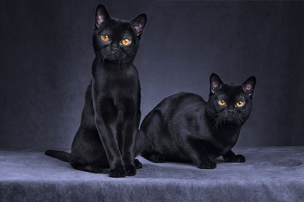 Jenis-jenis Kucing Bombay
