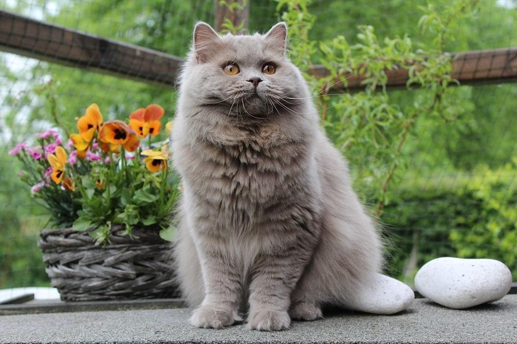 Jenis-jenis Kucing British Longhair