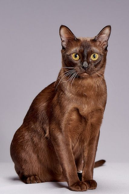 Jenis-jenis Kucing Burmese