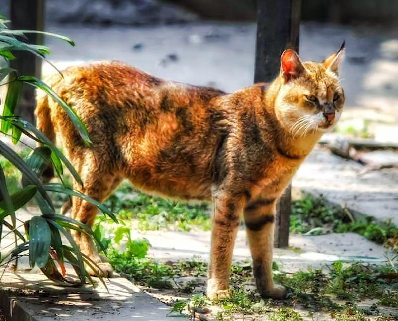 Jenis-jenis Kucing Chausie