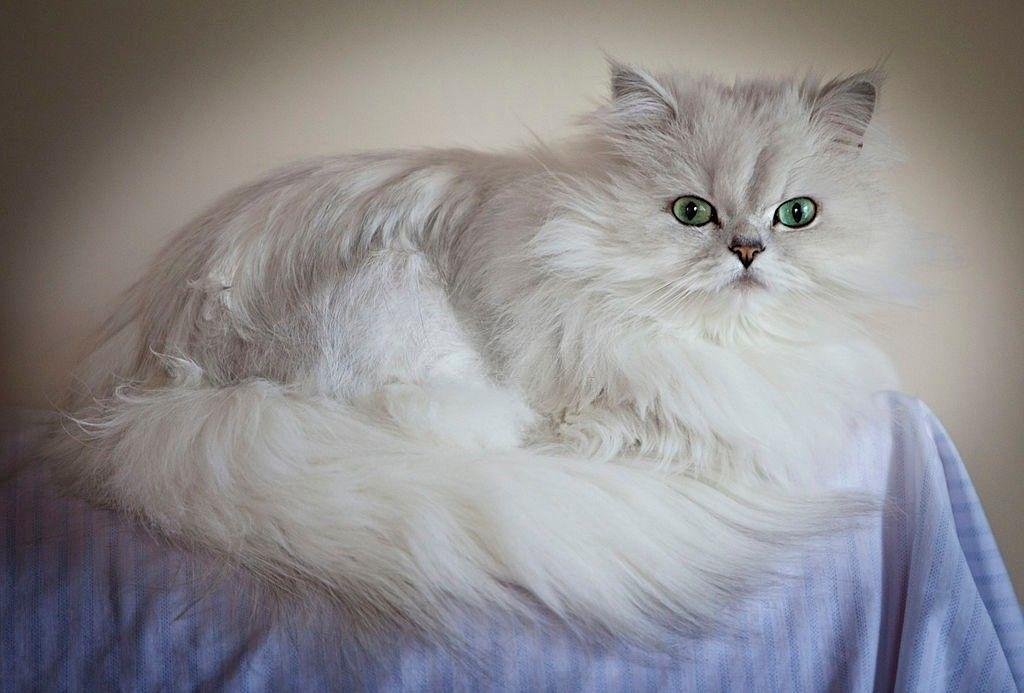 Jenis-jenis Kucing Chinchilla