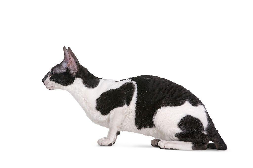Jenis-jenis Kucing Cornish Rex