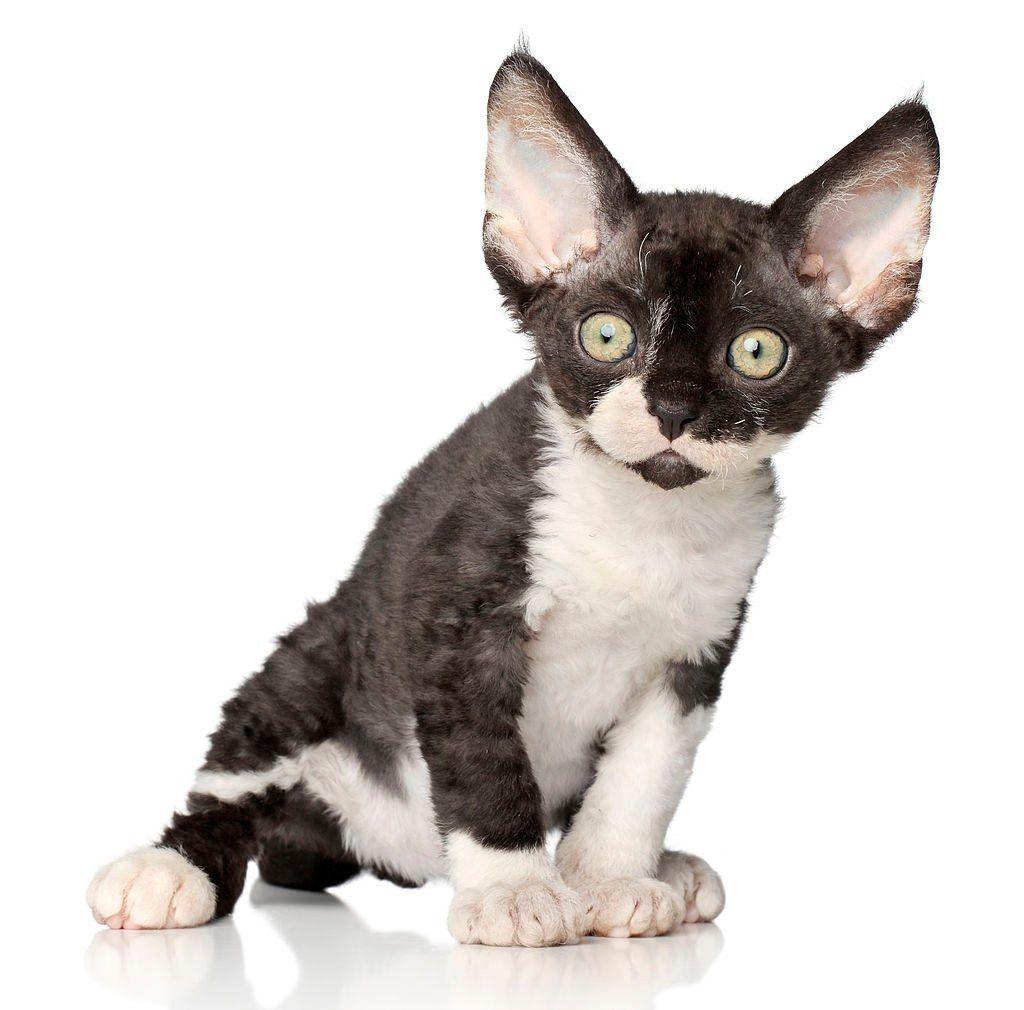 Jenis-jenis Kucing Devon Rex