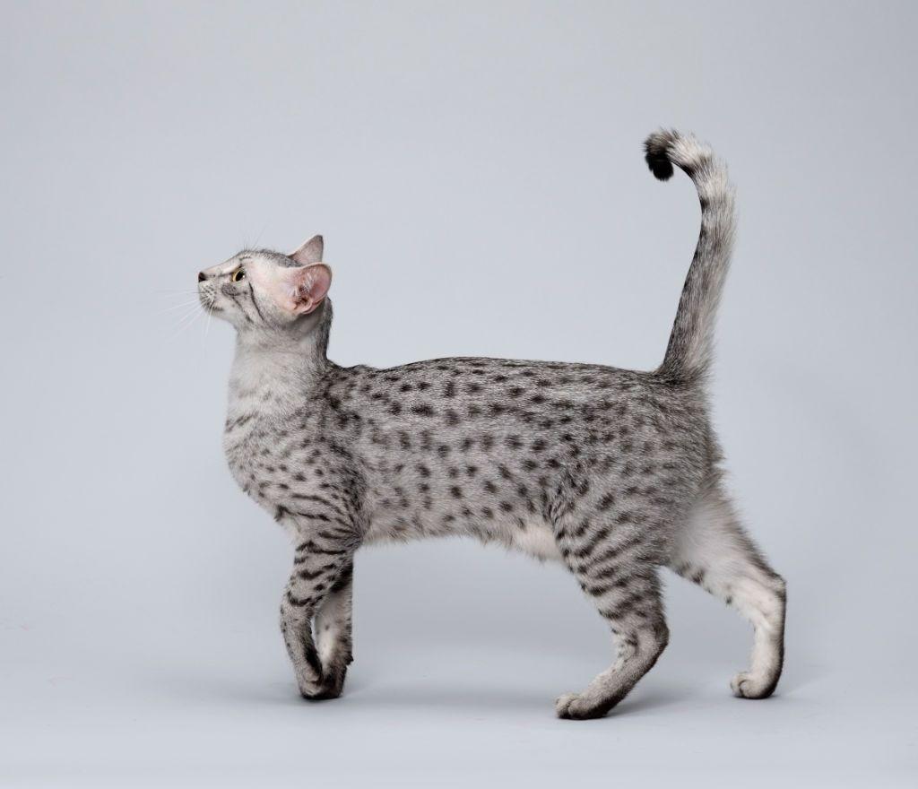Jenis-jenis Kucing Egyptian Mau
