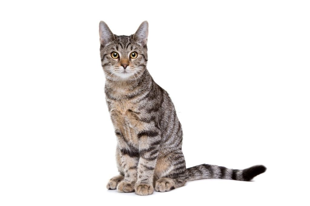 Jenis-jenis Kucing European Shorthair