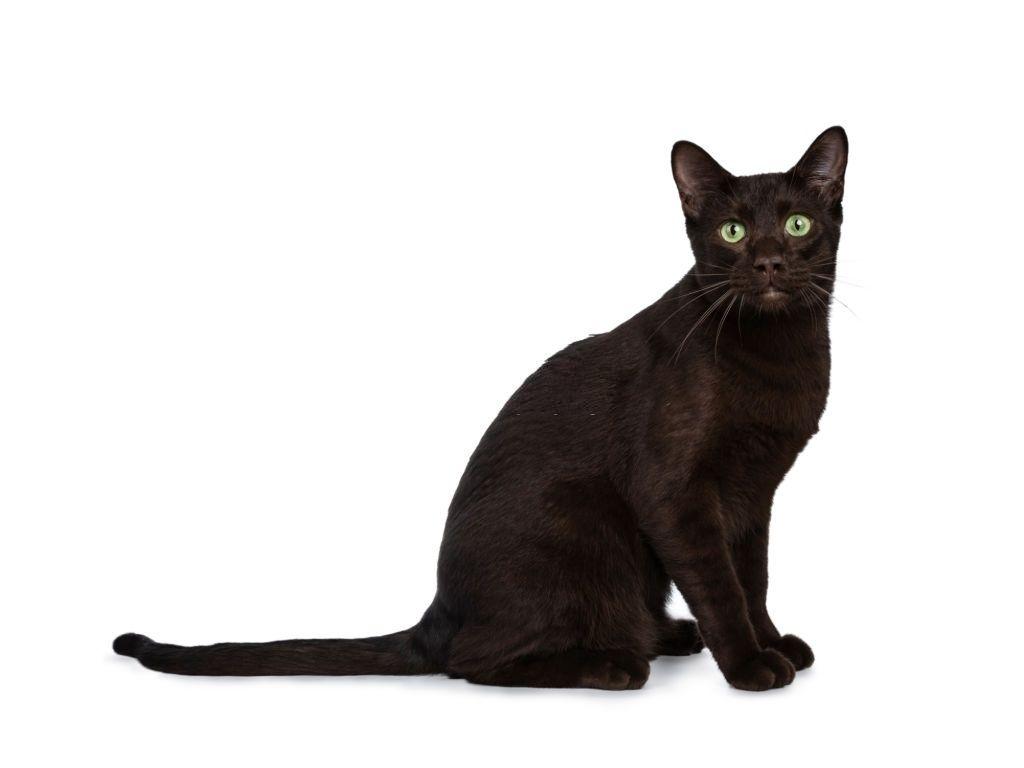 Jenis-jenis Kucing Havana Brown