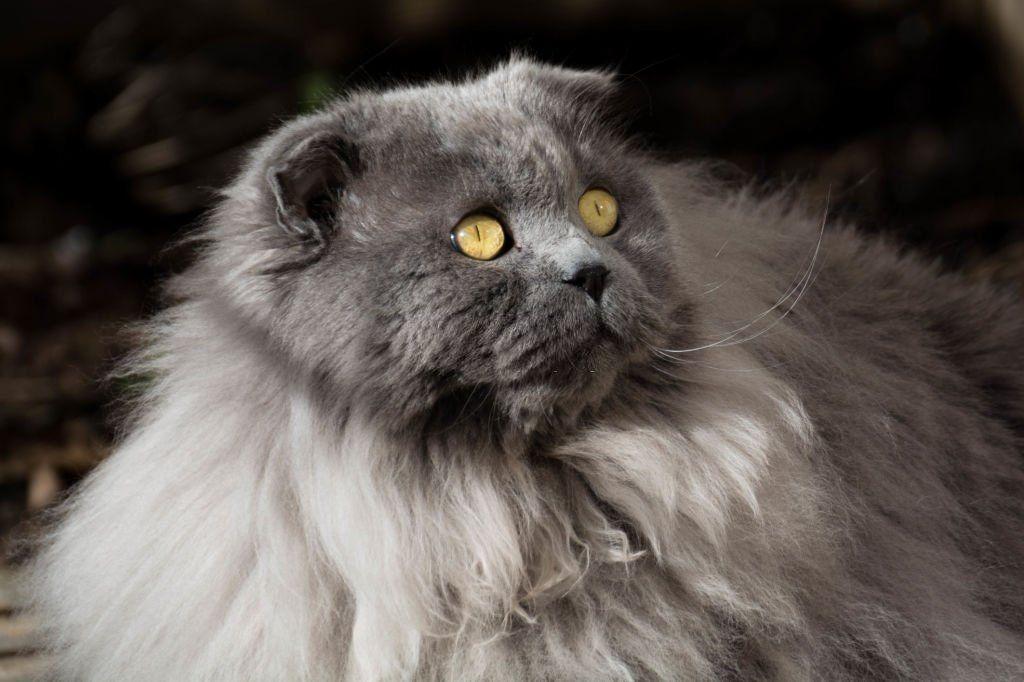 Jenis-jenis Kucing Highlander