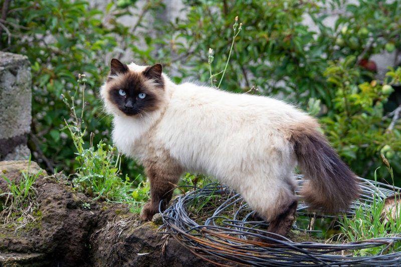 Jenis-jenis Kucing Himalaya