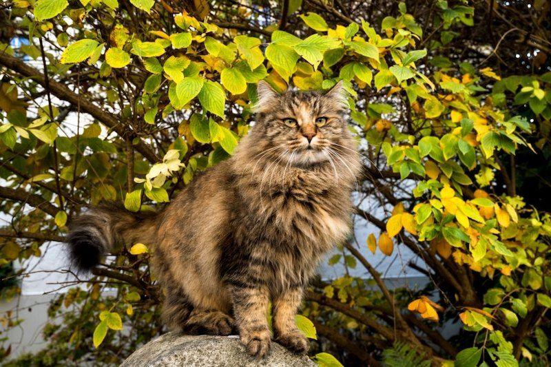 Jenis-jenis Kucing Hutan Norwegia