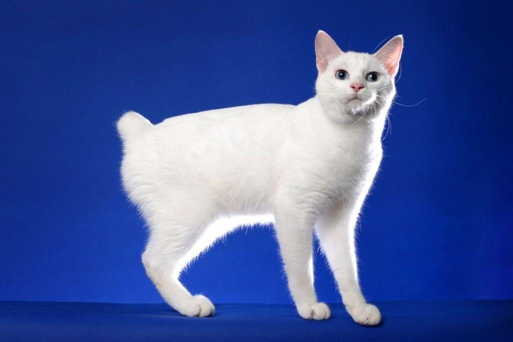 Jenis-jenis Kucing Japanese Bobtail