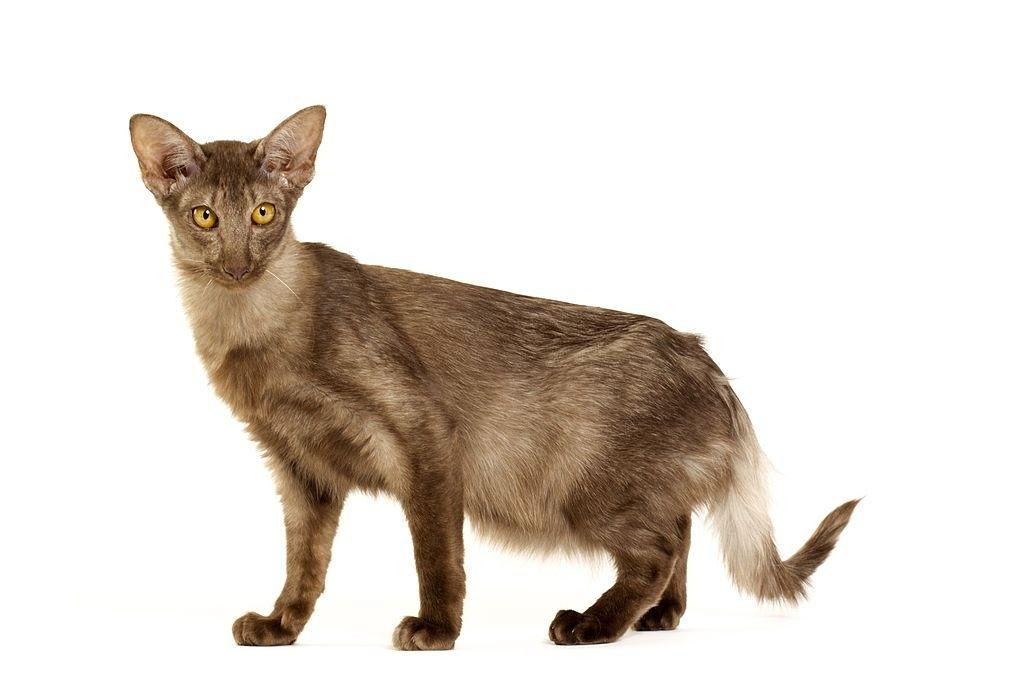 Jenis-jenis Kucing Javanese