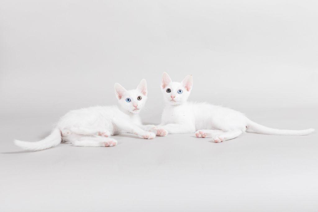 Jenis-jenis Kucing Khao Manee