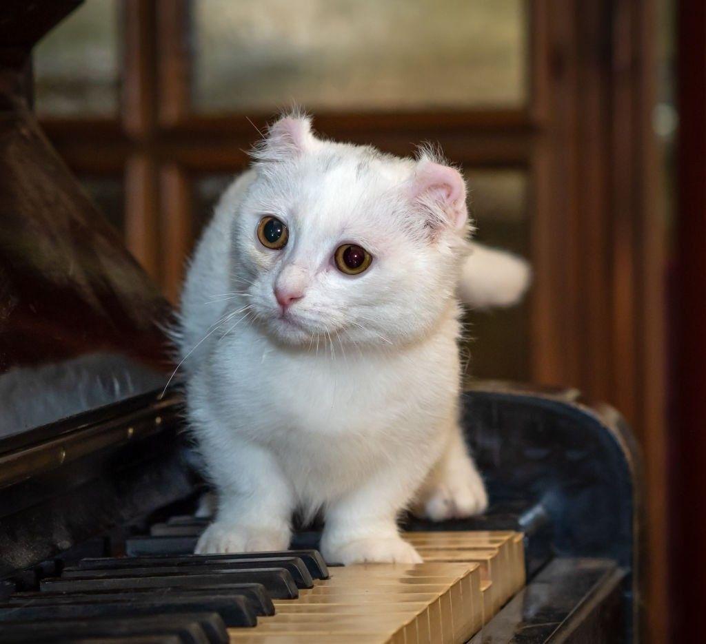 Jenis-jenis Kucing Kinkalow