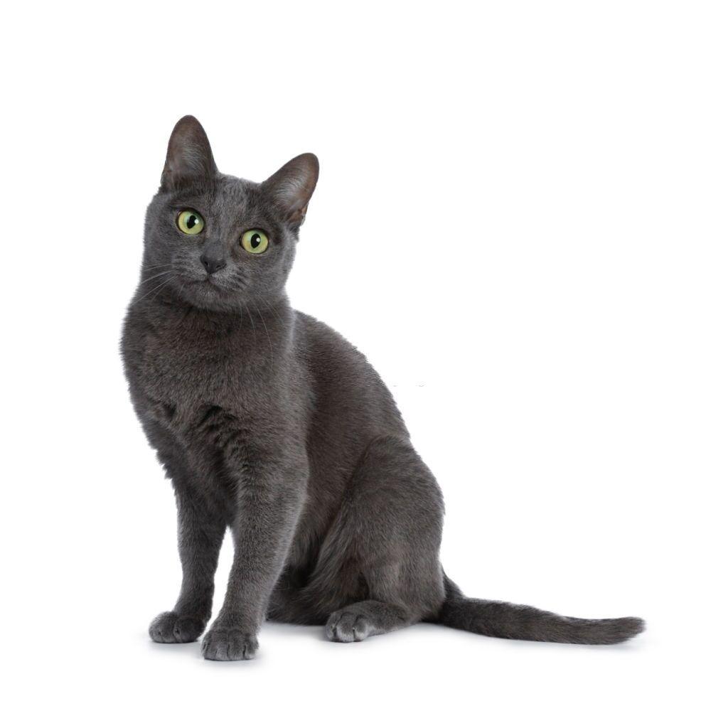 Jenis-jenis Kucing Korat