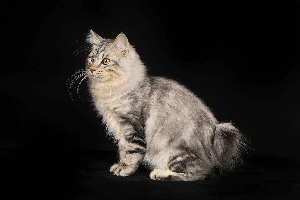 Jenis-jenis Kucing Kurilian Bobtail