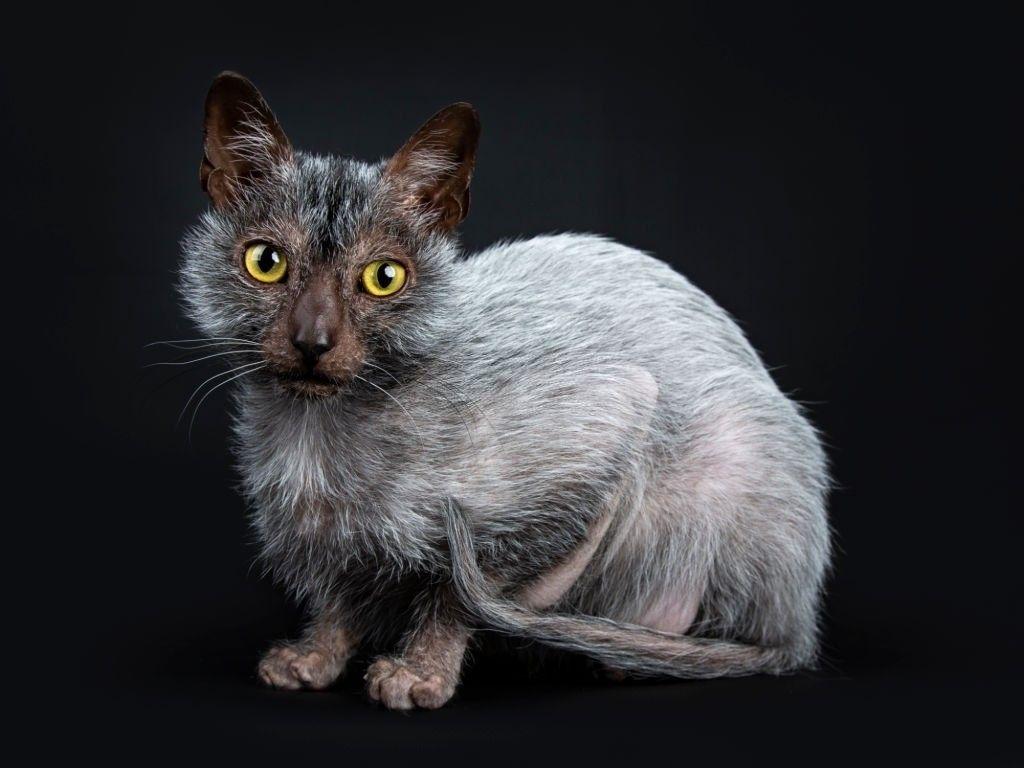 Jenis-jenis Kucing Lykoi