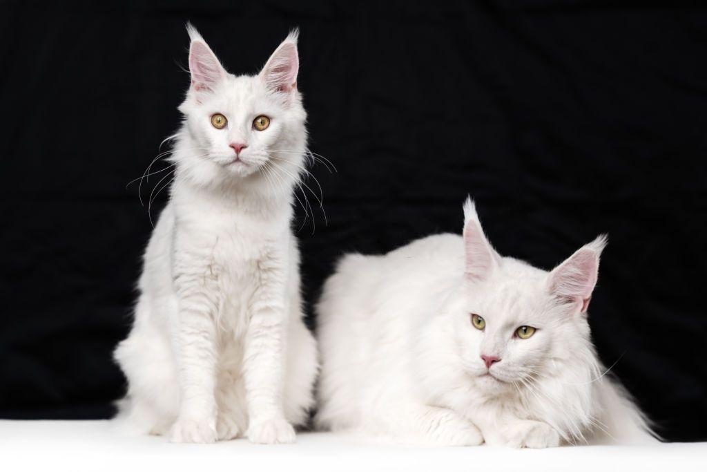 Jenis-jenis Kucing Maine Coon