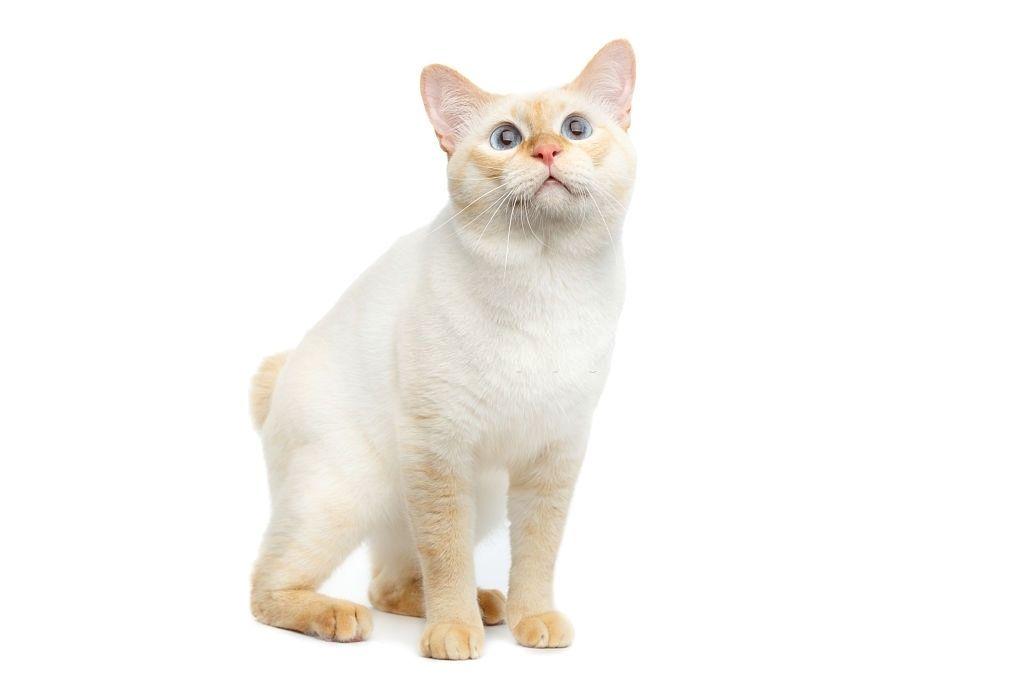 Jenis-jenis Kucing Mekong Bobtail