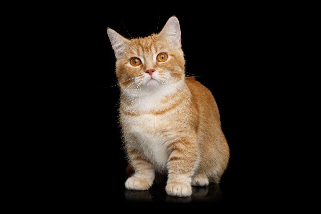 Jenis-jenis Kucing Munchkin