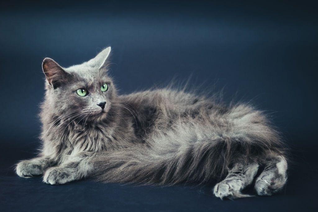 Jenis-jenis Kucing Nebelung